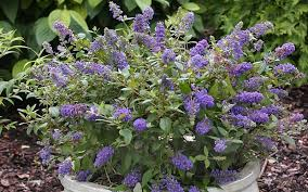Butterfly Bush – I love the color! I may have to get some of these as well!