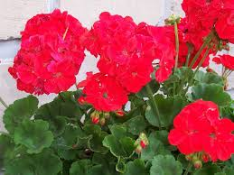 Geranium – These also come in many different colors, and also like partial sun exposure. Be careful where you plant them so they don't die from over exposure to the sun.