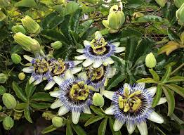 Passion Flower – These are very interesting and beautiful plants. But, they really need partial sun, so be careful where you plant them.