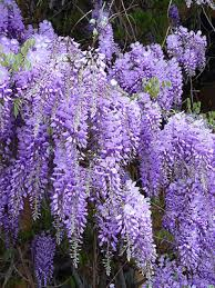 Wisteria – I love the way this plant looks and smells! I may have to get one or two for my yard.